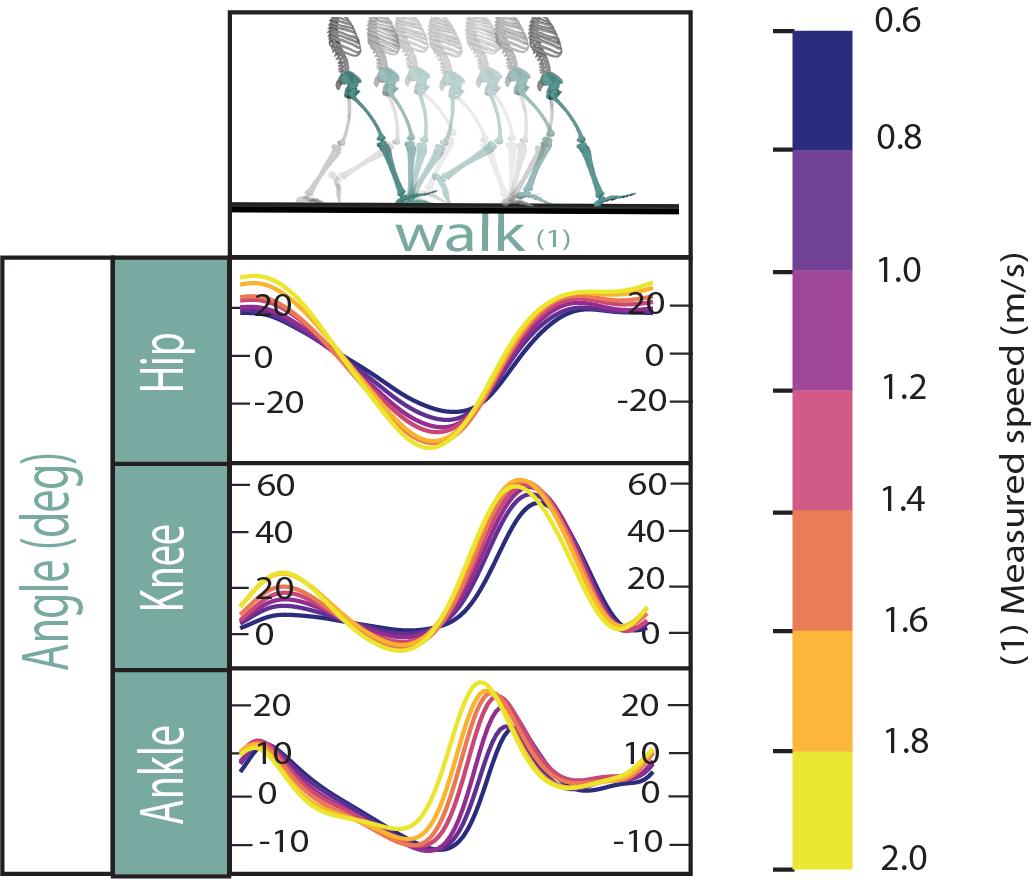 kinematics of levelground walking
